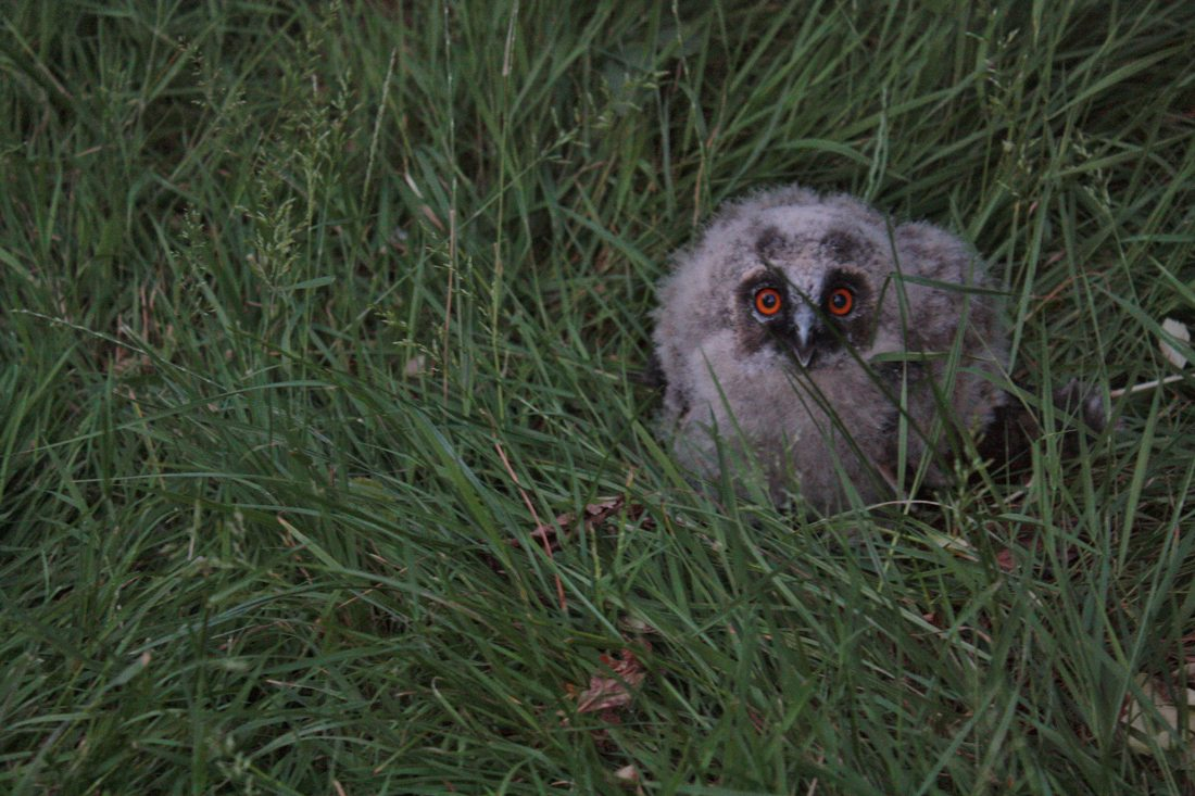 A Short-eared Owl chick standing in the grass.