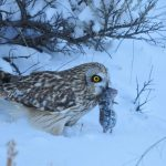 My Favorite Interesting Facts About the Short-eared Owl