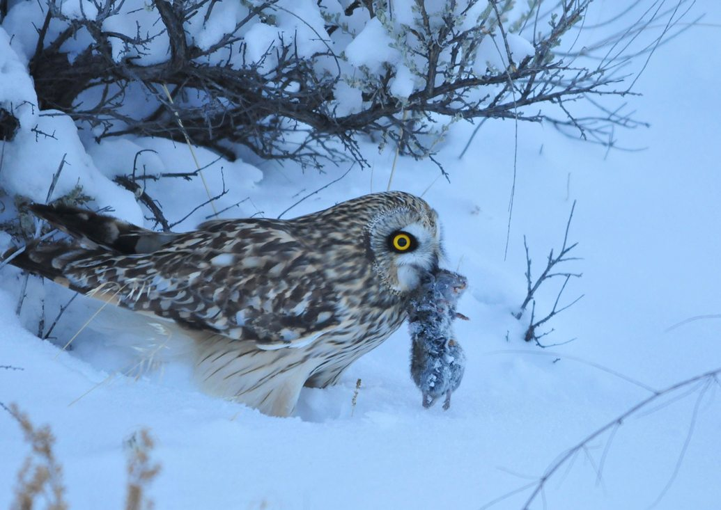 A Short-eared owl standing in snow with a small rodent in its beak.