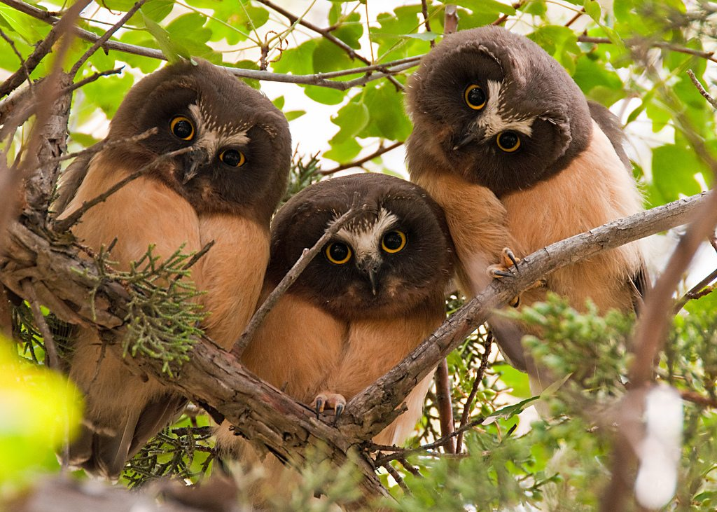 Three Immature Saw-whet Owls In a Tree