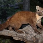 A Treasure from Our West: Treasures blog 158: American marten. DRA.305.183