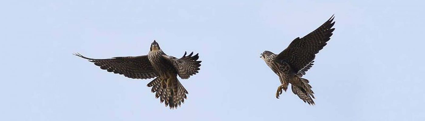 Peregrine falcon dropping prey to fledglings