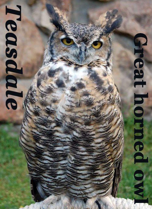 GH-owl-thumbnail