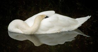 Swan Sleeping While Floating in a Pond