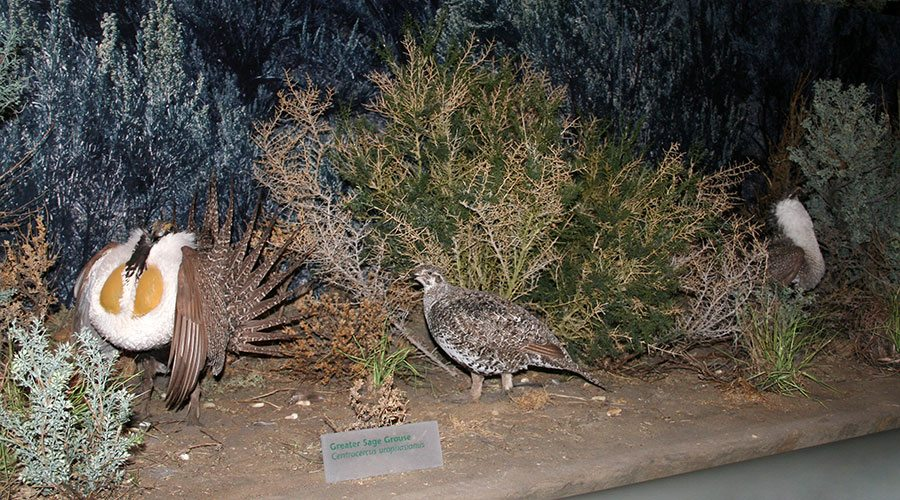 Male sage grouse compete for the attention of females in this dramatic spring ritual recreated in the Draper.