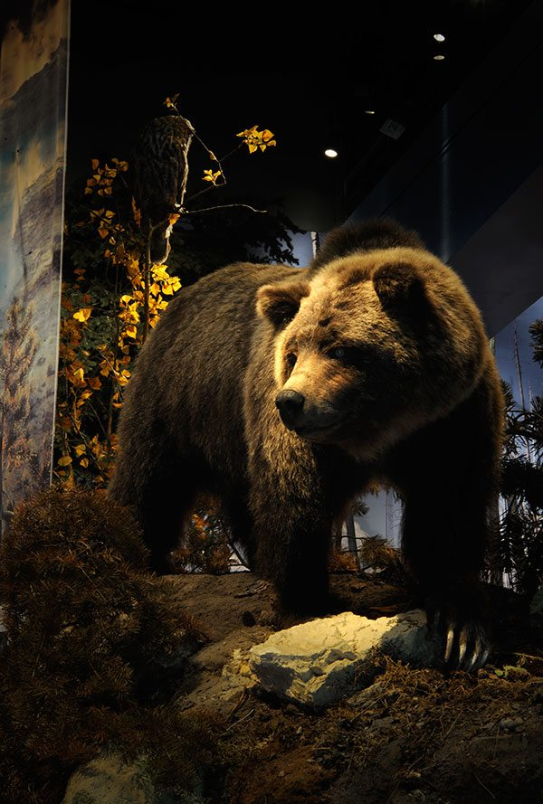 A grizzly bear comes to reclaim her cached elk carcass in this popular Draper exhibit. DRA.305.4