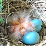 Three hatchlings and two blue eggs, one with a pip in it.
