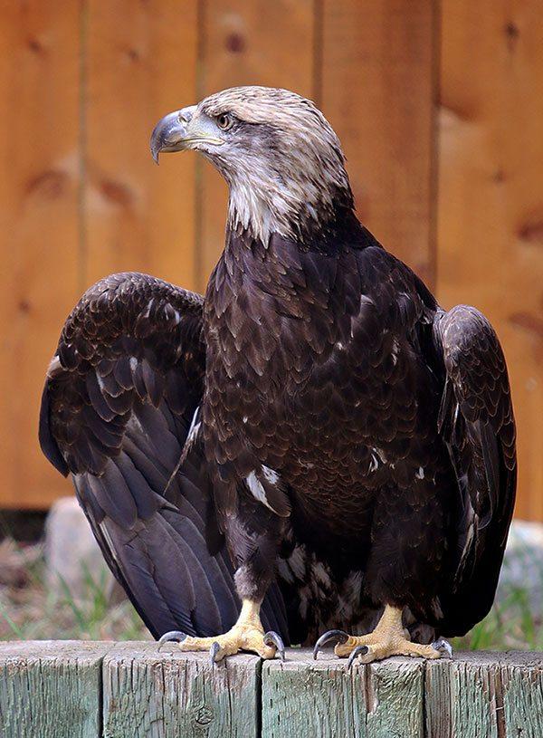 Draper Museum Raptor Experience: Bald eagle