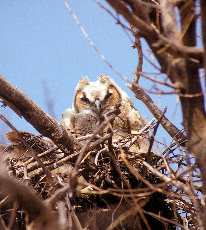 This young great horned owl will be out of the nest well before summer arrives in Yellowstone Country. Photo by C.R. Preston.