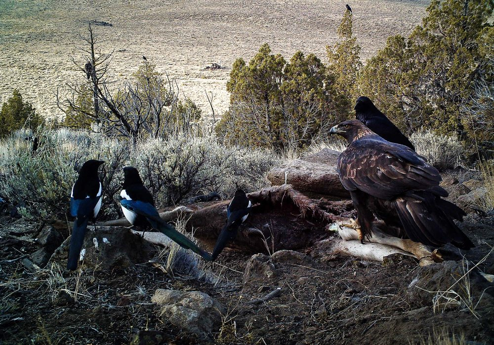 Golden Eagle Sharing Carrion With Magpies and a Raven