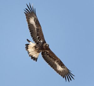 Photo of a young golden eagle in flight, showing the solid white patches under the wing, and the mostly white tail.