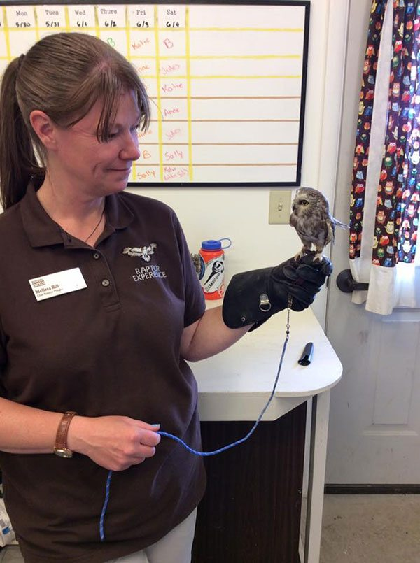 This photo of Remington perched on the glove of Assistant Curator Melissa Hill shows how small the saw-whet owl is.
