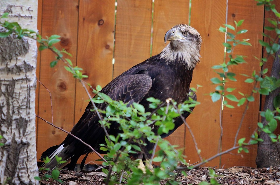 Our Bald Eagle is three years old, therefore her head has dark streaks within the white head color.