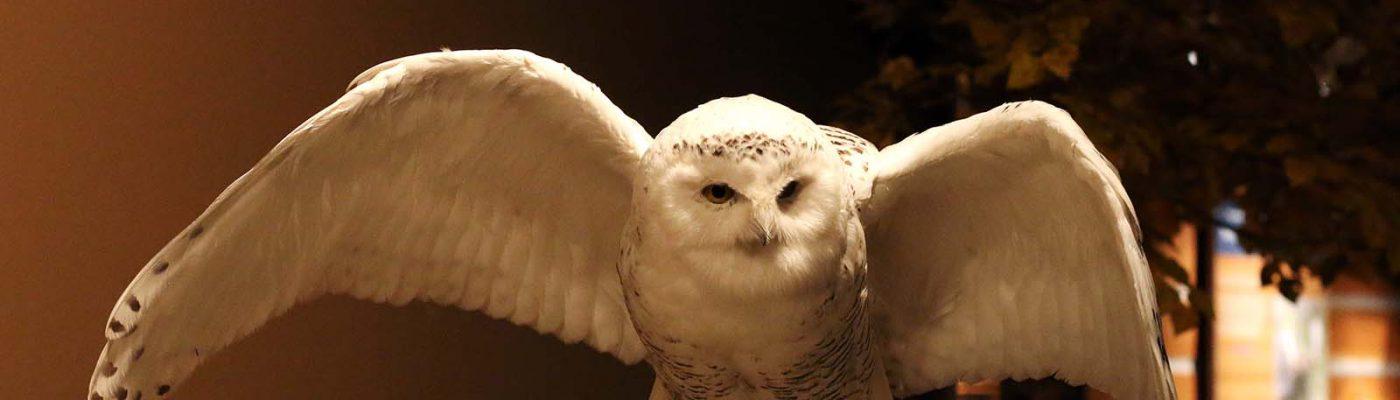 Snowy owl specimen. DRA.304.367 (detail)