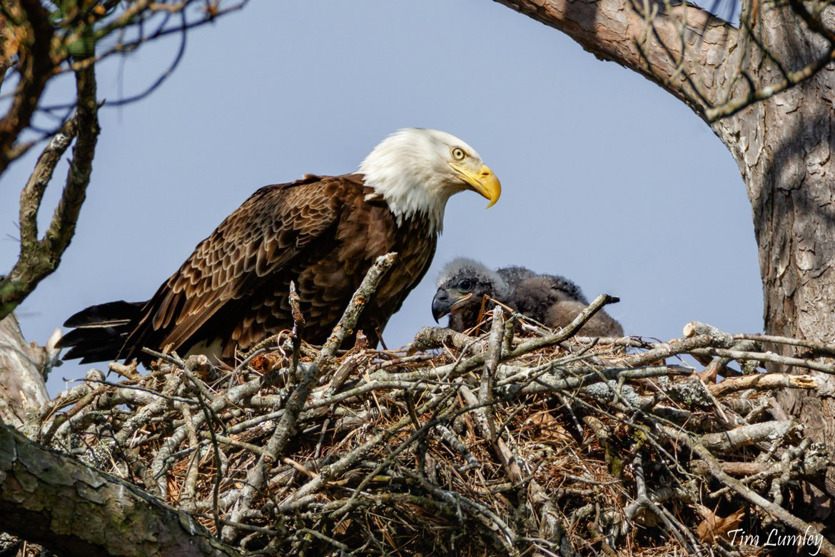 Bald Eagle and Eaglet in a Nest Located In a Tree