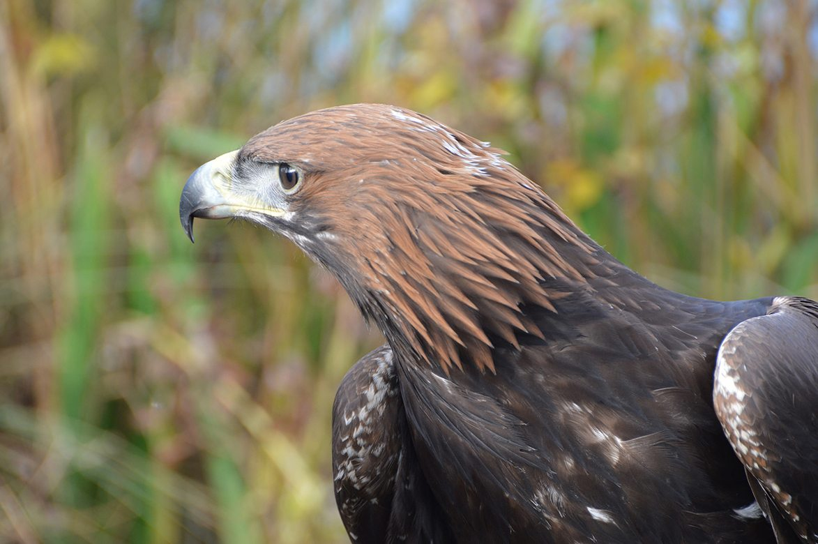 The Golden Head and Nape of a Golden Eagle