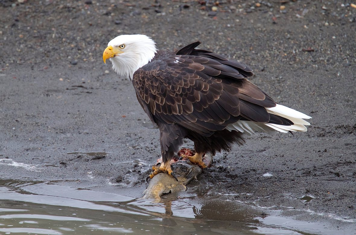 Bald Eagle standing near the edge of the water with a fish.
