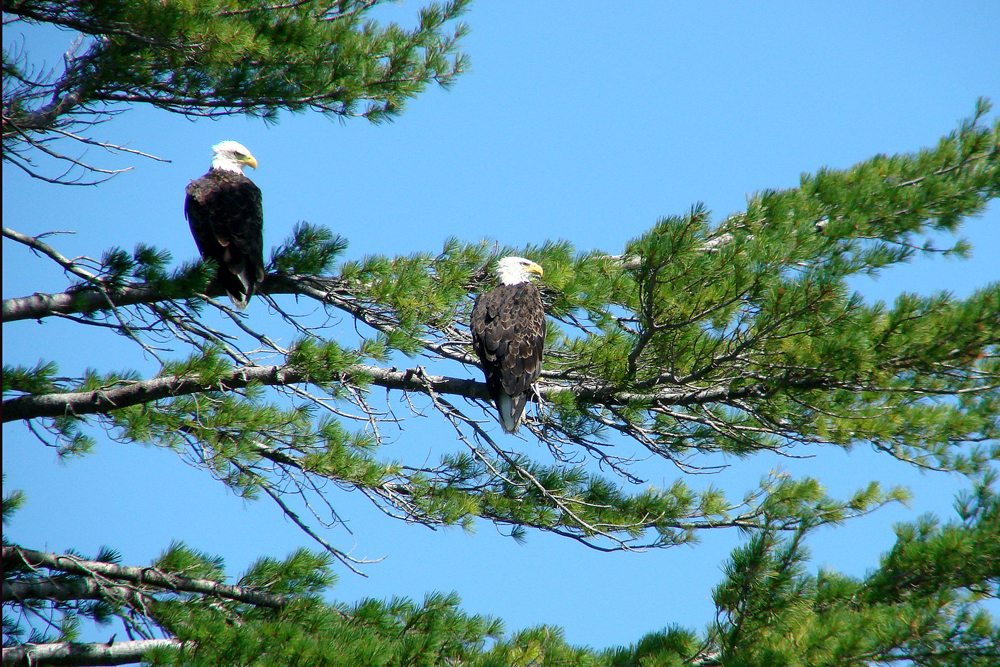 A Mated Pair of Bald Eagles Perched in a Tall White Pine Tree