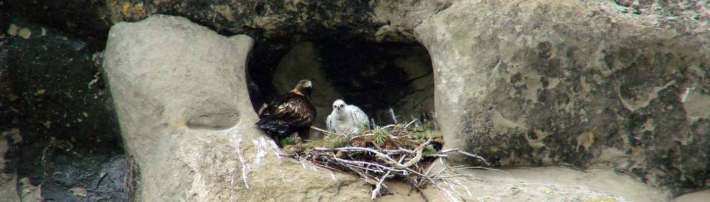 An adult Golden Eagle with one white chick tucked into a cliff nest near Cody, Wyoming.