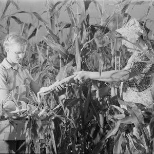 LOC-picking corn