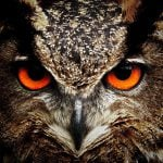 Close up of the eyes of a Eurasian Eagle Owl