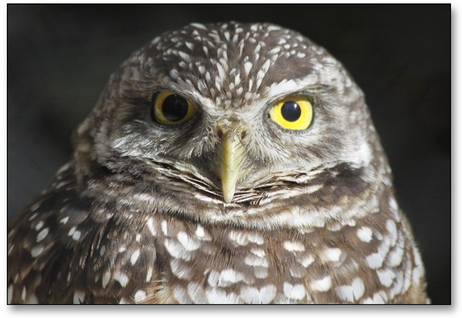 owl pupil dilation