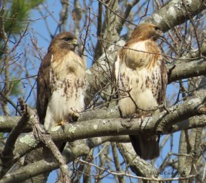 Red-Tailed Hawk pair with slight size difference.