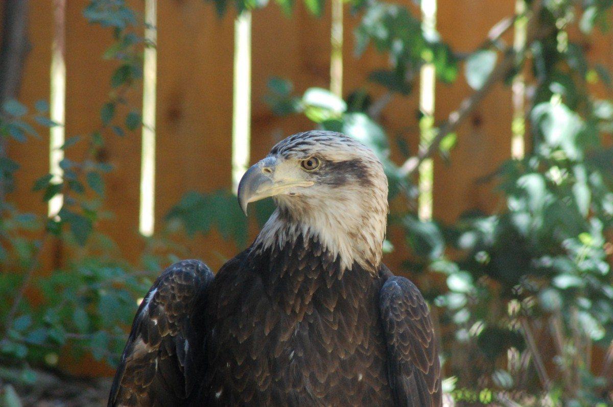 Jade the Bald Eagle