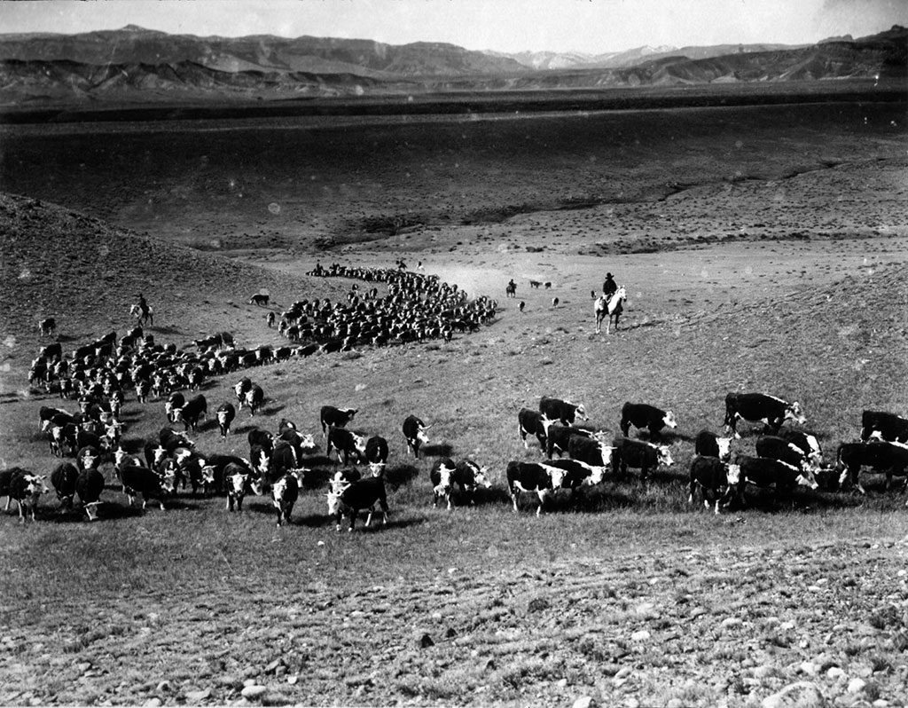 Charles J. Belden (1887-1966). Chuck Curtis and others trailing a herd of cattle on the Plains. MS 3 Charles Belden Collection. P.67.266