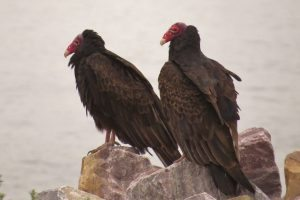 Turkey Vulture pair
