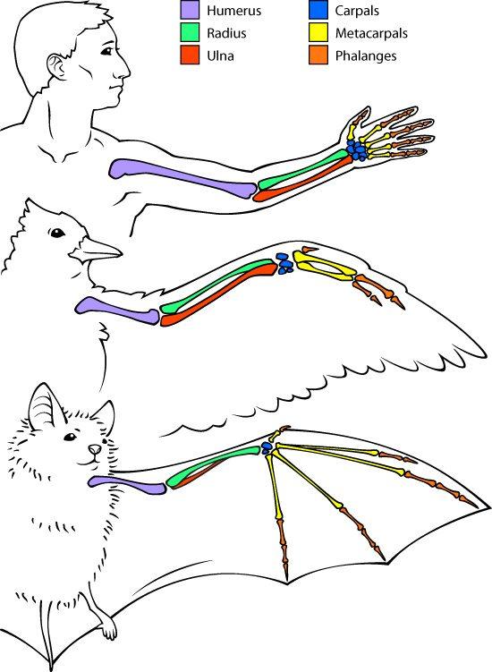 Bat vs human vs bird arm bones