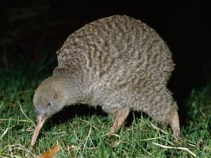 A Kiwi has such small wings they are rarely noticeable.
