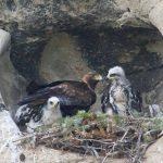 Male versus Female raptors: How do we know?