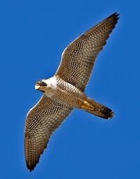 Peregrine Falcon in flgiht
