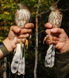 Female and Male Sharp-Shinned hawks