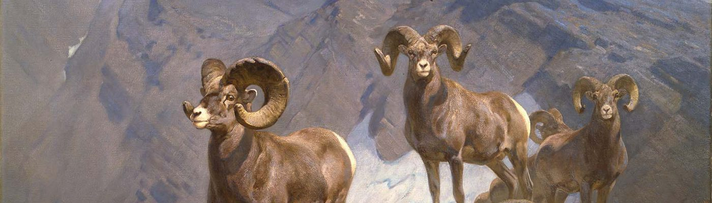 "Carl Rungius (1869 – 1959). ""The Mountaineers—Big Horn Sheep on Wilcox Pass,"" 1912. Oil on canvas, 60 x 75 in. Gift of Jackson Hole Preserve, Inc. 16.93.1"