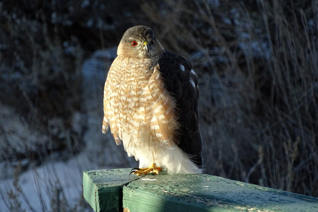 An adult sharp-shinned Hawk perched near our wild bird feeding area.