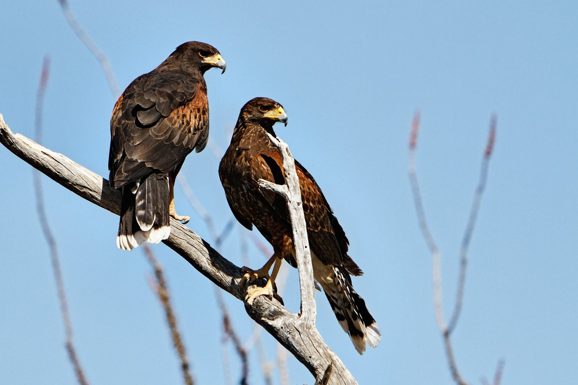 Two Harris Hawks perched side-by-side on a branch.
