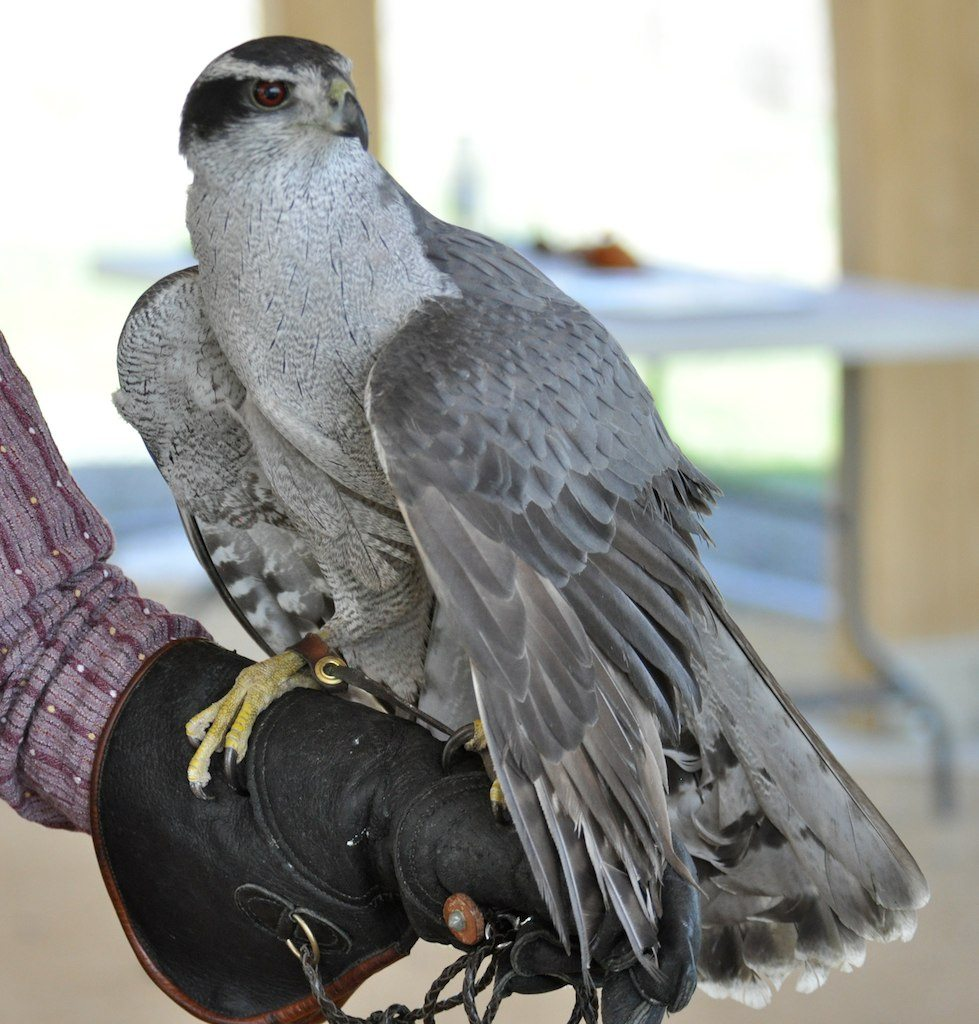 Northern Goshawk perched on a glove.