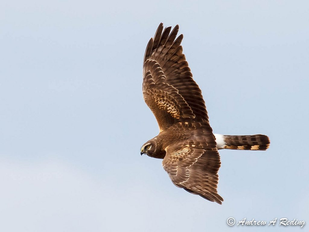 Female Northern Harrier in flight.