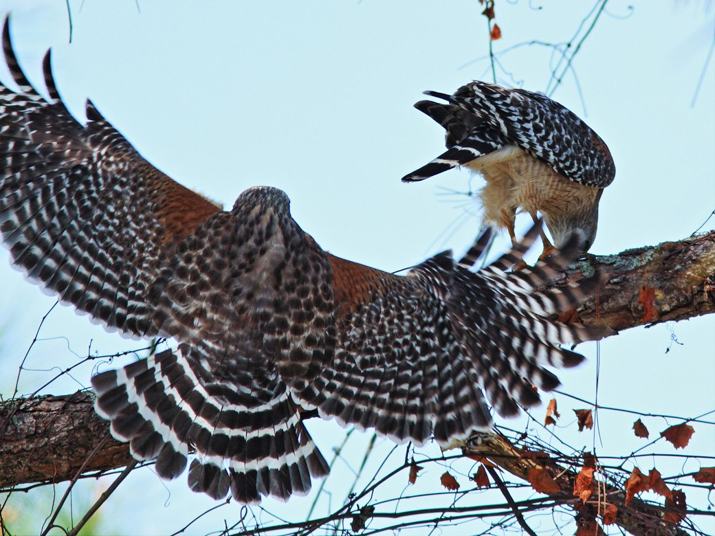 Two Red-shoulder Hawks. One perched on a tree branch and the other about to land nearby.