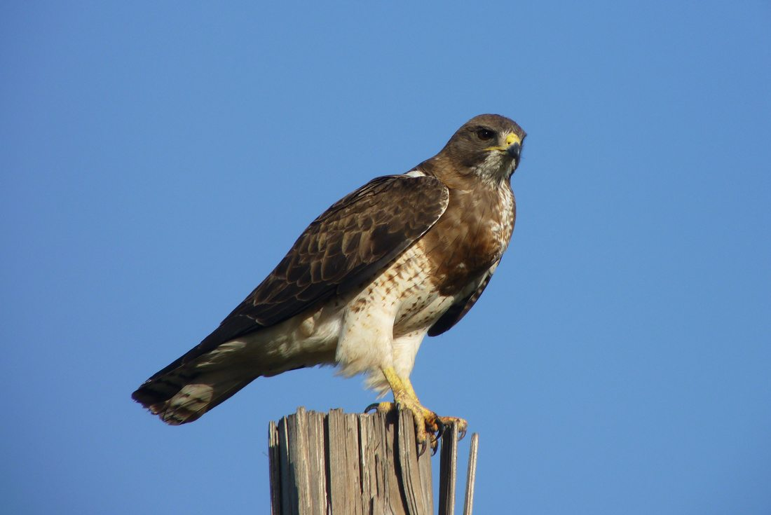 Swainson's Hawk perched on a post.
