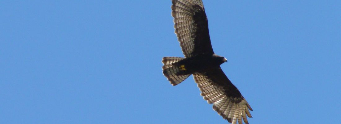 Seen high in the air, the zone-tailed hawk will sometimes be miss-identified as a turkey vulture.
