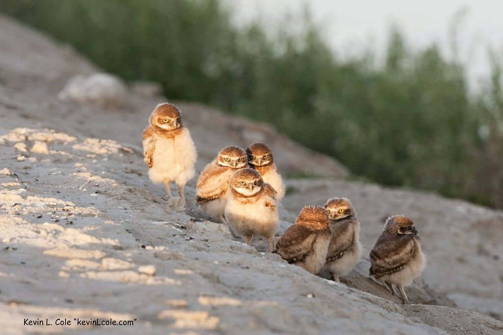 A group of burrowing owlets.