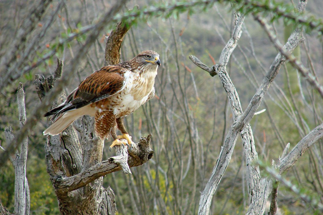 Ferruginous Hawk Perched on a Branch