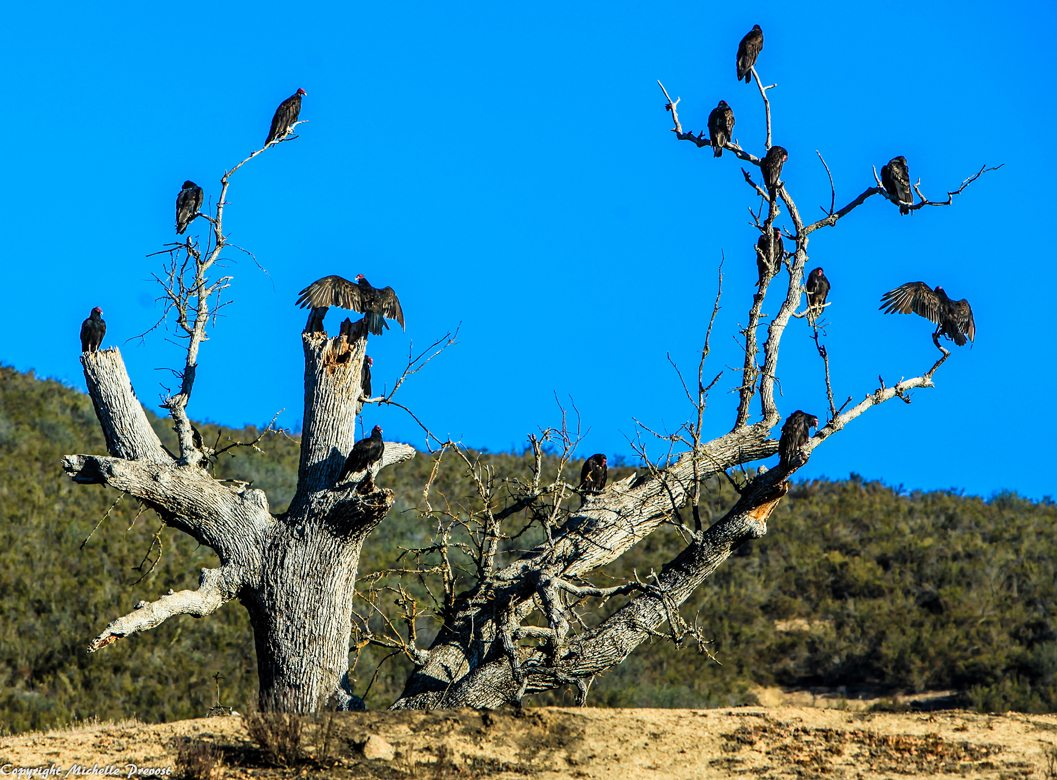 A group of turkey vultures perched in a dead tree.