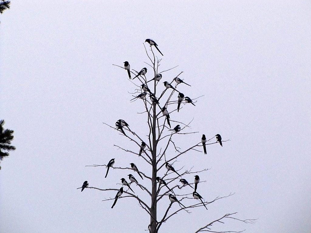 A group of Magpies perched in a tree.