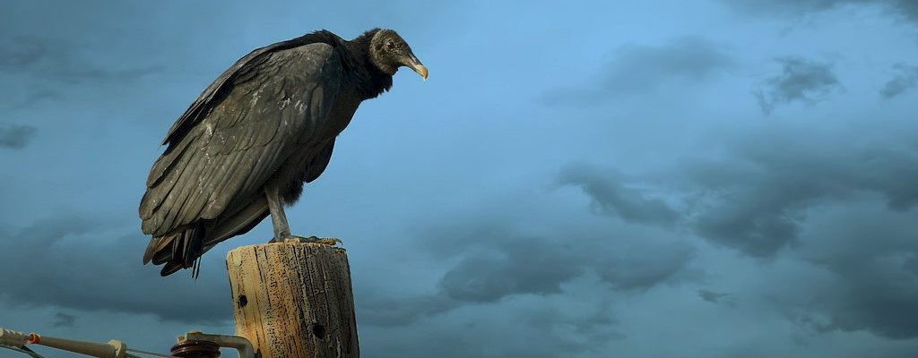 A Perched Black Vulture