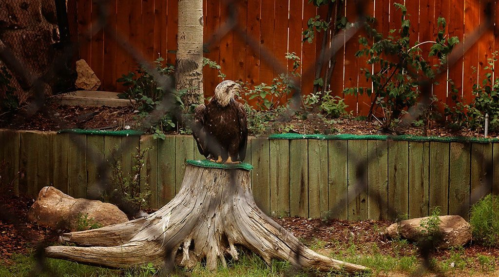 Bald eagle Jade on a perch in his permanent enclosure exhibit.
