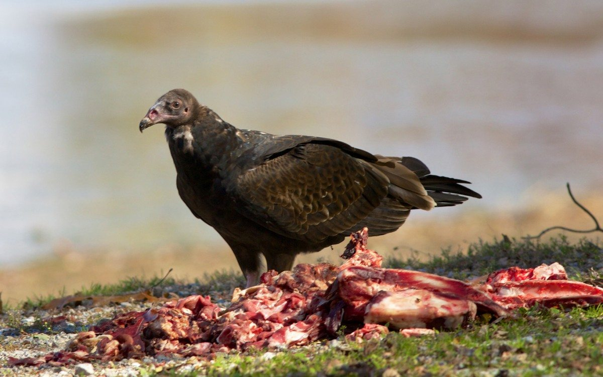 Immature Turkey Vulture on Carrion